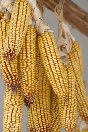 Hanging corn cobs for drying. photo