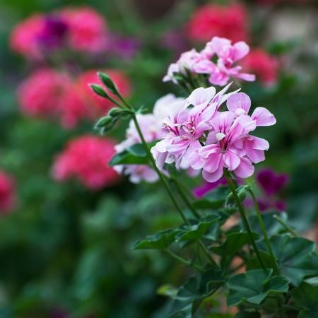 Pink pelargonium flowers (pelargonium hortorum).