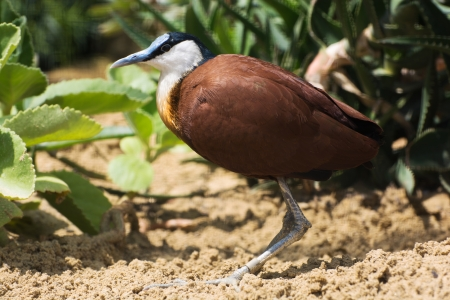 birdlife: Close up of African jacana (Actophilornis africanus).