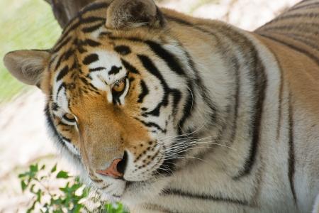 panthera tigris: Un solo tigre siberiano (Panthera tigris altaica).