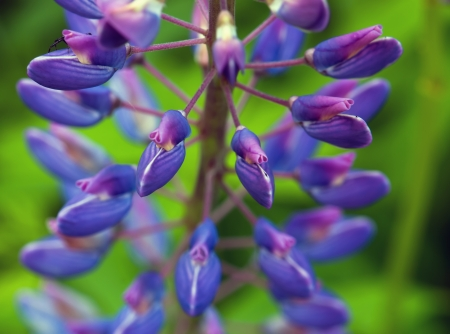Large-leaved lupine flowers (Lupinus polyphyllus). Stock Photo