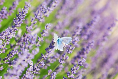 Blue butterfly and purple lavender flowers. photo