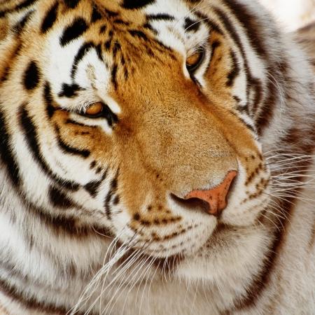 ussuri: Portrait of a big siberian tiger (Panthera tigris altaica).