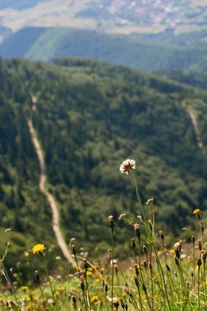walking trail: Fioritura fiori su un prato di montagna. Sentiero su uno sfondo. Archivio Fotografico