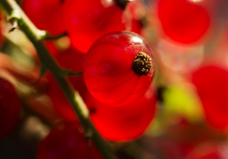 Macro photo of a red currants. Stock Photo - 21213917