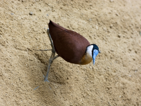 birdlife: African jacana (Actophilornis africanus) walking in the sand.