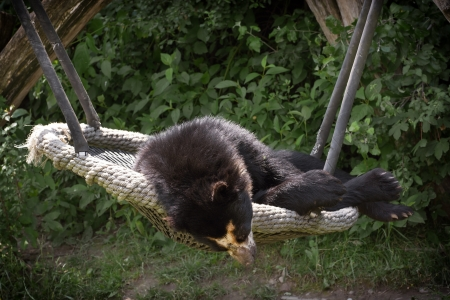 spectacled: The Spectacled bear (Tremarctos ornatus) resting on a swing. Stock Photo