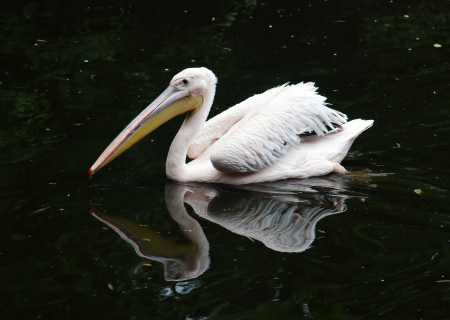 Great white pelican (Pelecanus onocrotalus) floating on the water. photo