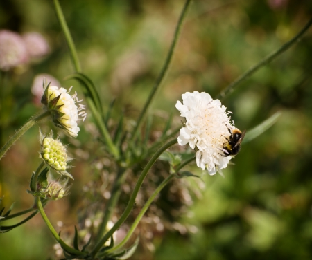 Bumblebee pollinating a white flower. photo