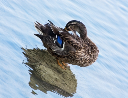 palmiped: Mallard duck cleaning in water. Stock Photo