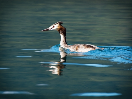 palmiped: Great crested grebe (Podiceps cristatus) swimming in still blue water.