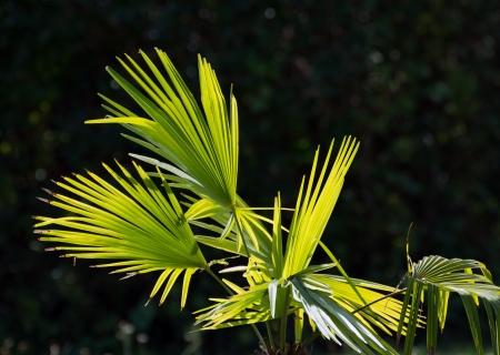 palm frond: Bella fronda di palma che mostra freschi dettagli verdi e gialli alla luce del giorno.