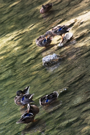 palmiped: Group of mallard ducks cleaning in water. Stock Photo