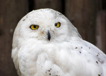 chordata: The Snowy Owl (Nyctea scandiaca) (Bubo scandiacus) is a large owl of the typical owl family Strigidae. The Snowy Owl was first classified in 1758 by Carolus Linnaeus, the Swedish naturalist who developed binomial nomenclature to classify and organize plan
