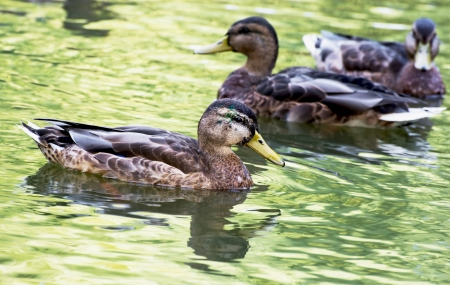 palmiped: Group of mallard ducks with reflection in the pond.