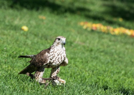 The Saker falcon (Falco cherrug) on the grass. It  is a very large falcon. This species breeds from eastern Europe eastwards across Asia to Manchuria. photo