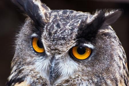 Portrait of a Eagle owl (Bubo bubo).