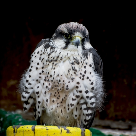 lanner: The Lanner falcon (Falco biarmicus) is a large bird of prey that breeds in Africa, southeast Europe and just into Asia.