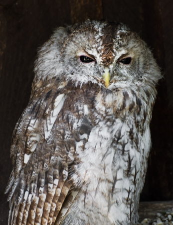 strigiformes: The Tawny owl or Brown owl (Strix aluco).