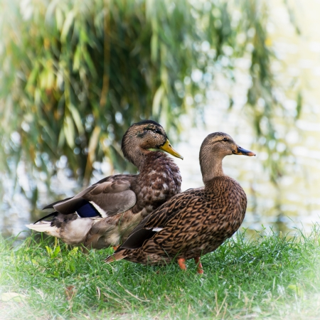 palmiped: Pair of wild mallard ducks by the pond.