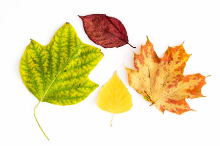 Set of colorful autumn leaves on a white background. photo