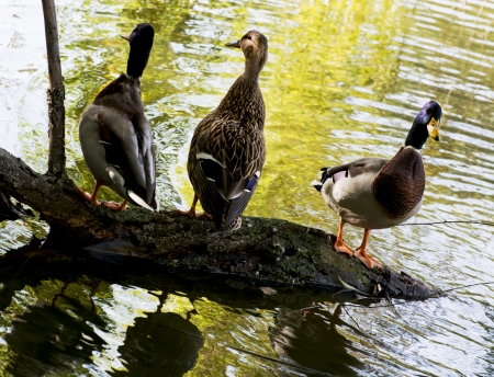 palmiped: Group of mallard ducks resting on a tree trunk in the city park.