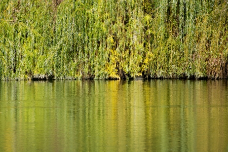 Colorful branches of the weeping willow (salix babylonica) are mirrored in the lake. photo