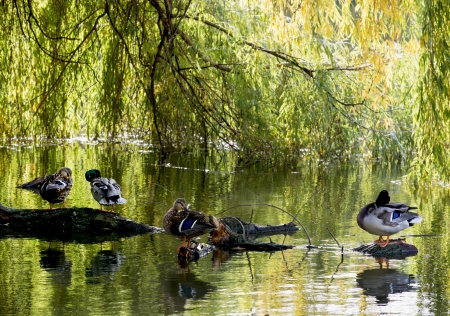 palmiped: Mallard ducks resting on a tree trunk in the city park and they are reflected in the water.