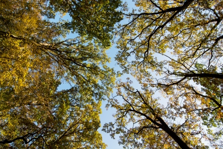 treetops: Various autumn treetops and sunny sky.