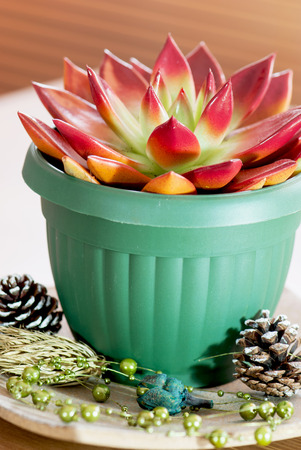 Red succulent in a green flowerpot with cones and decoration. photo