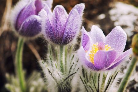 Dewy flowers of a pulsatilla slavica in spring meadow.