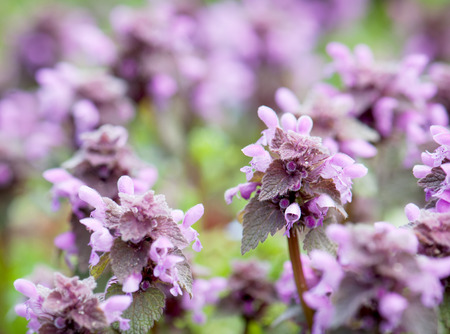 Flowering dead nettle on the meadow (Lamium purpureum). Spring background. photo