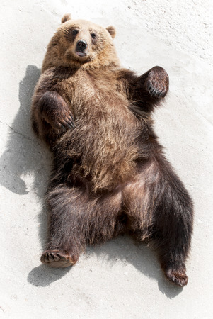 Brown bear (Ursus arctos arctos) lying on the ground. Funny animal photo. Stock Photo