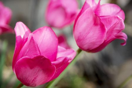 pink tulips: Close up of a beautiful pink tulips. Stock Photo