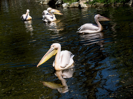 Group of Great white pelicans (Pelecanus onocrotalus) on the lake. photo