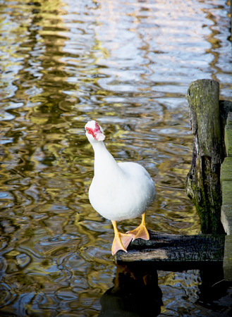 laughable: White muscovy duck (Cairina moschata) looking at camera. Humorous photo.