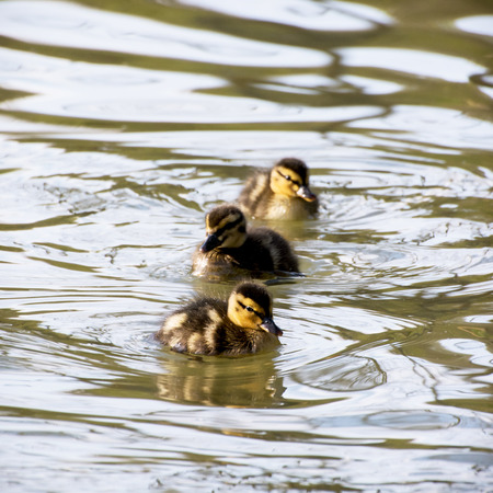 Three little mallard ducklings in the water. photo