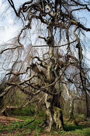 fagaceae: Old european beech (fagus sylvatica) in the park Buchlovice, Czech republic.