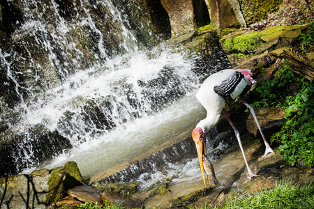Painted stork (Mycteria leucocephala) fishing under the waterfall. photo