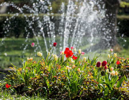 Shiny tulips and fountain with falling water in the spring garden. photo
