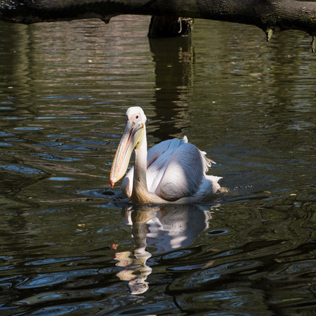 pelecanidae: The Great white pelican (Pelecanus onocrotalus) also known as the Eastern white pelican. Stock Photo