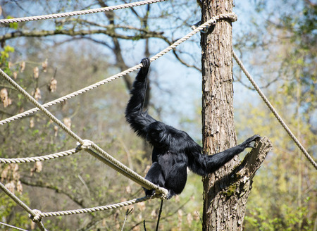 shrouds: The siamang (Symphalangus syndactylus) is a tailless, arboreal, black-furred gibbon native to the forests of Malaysia, Thailand, and Sumatra.