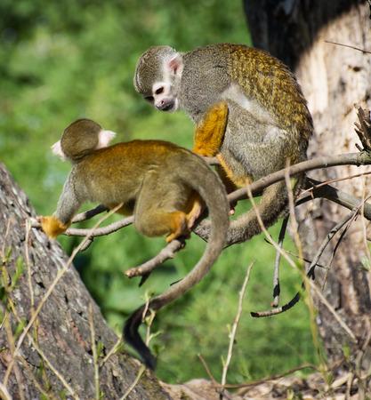sciureus: Pair of a Common squirrel monkey (Saimiri sciureus) on the tree.