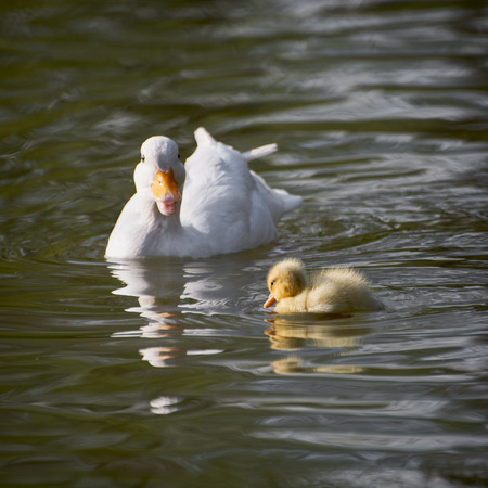 White duck with her duckling communicate in a lake. Beauty in nature. photo