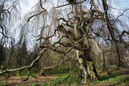 centenarian: Old european beech (fagus sylvatica) in the park Buchlovice, Czech republic, Central Europe.