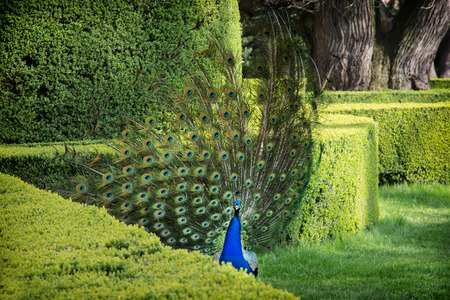 pavo cristatus: Peacock (Pavo cristatus) is performed in a green garden. Stock Photo