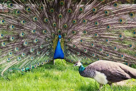 indian peafowl: Peacocks (Pavo cristatus) in love. Stock Photo