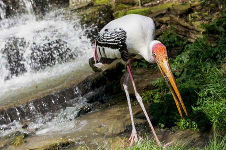 Painted stork (Mycteria leucocephala) catch the fish in the water stream. Stock Photo - 29272588