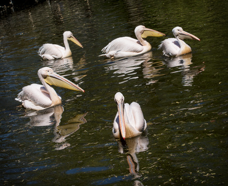 Group of Great white pelicans (Pelecanus onocrotalus) on the pond. Wildlife photo. photo