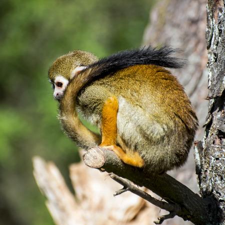 sciureus: Common squirrel monkey (Saimiri sciureus) with a long tail. Stock Photo